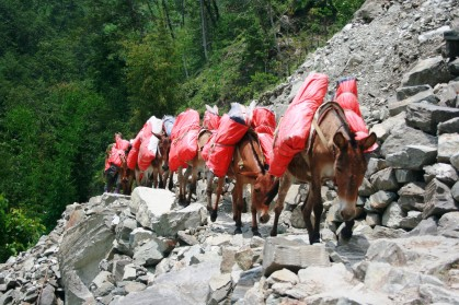Mules carrying tarps
